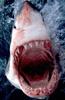 Так количество зубов у тигровой акулы меньше, чем у гигантской и китовой.